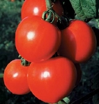 Tomatoes - New Girl - Organic